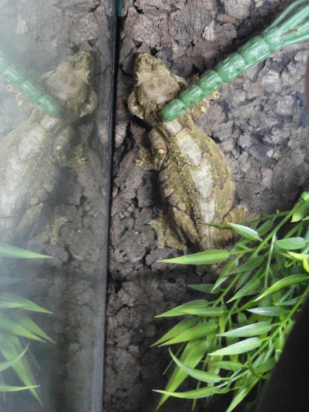 Femelle  Ptychozoon kuhli (la maman des bébés)