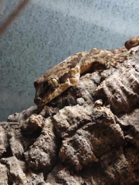 Femelle ptychozoon NC 2012