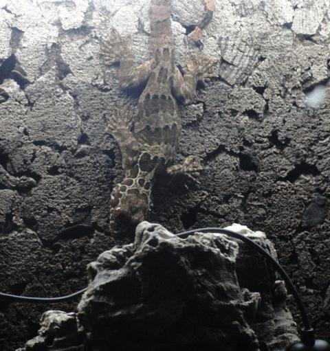 Ptychozoon horsfieldii