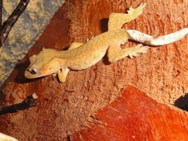 Loupio- correlophus ciliatus-mâle