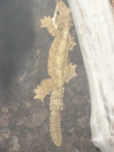 Ptychozoon femelle 1