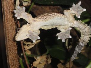 Ptychozoon mâle 2